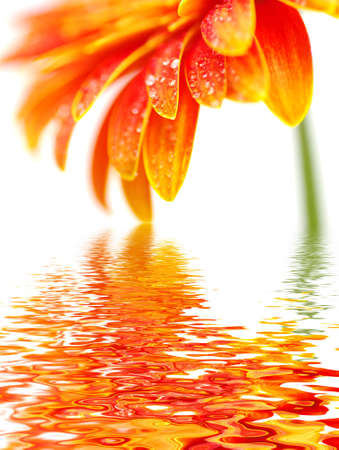 12878696-orange-gerbera-flower-isolated-on-white-background